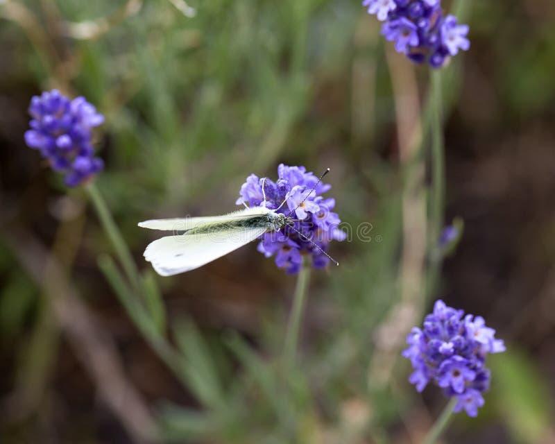 A alfazema floresce a florescência no jardim, borboleta, campo bonito da alfazema fotos de stock