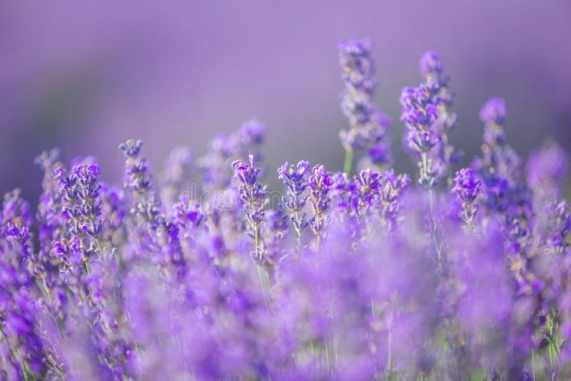 A alfazema floresce na luz solar em um foco macio, em cores pastel e em fundo do borrão fotos de stock royalty free