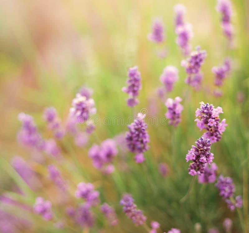 A alfazema floresce o close-up fotografia de stock royalty free