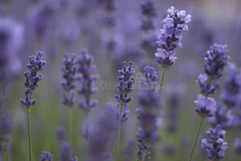 Download Alfazema no softfocus foto de stock. Imagem de flora, jardim - 535542