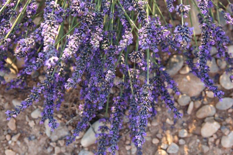 Alfazema no solo rochoso, Provence, França fotografia de stock