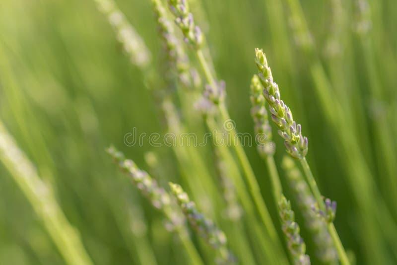 Alfazema nova como um fundo natural verde imagens de stock royalty free