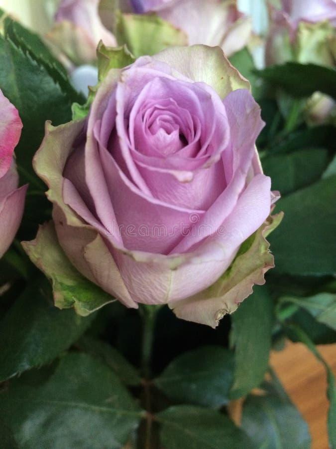 A alfazema roxa lilás aumentou imagens de stock