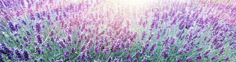 Alfazema roxa no fundo do campo de flor foto de stock