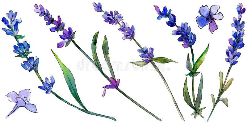 Alfazema violeta Flor botânica floral Wildflower selvagem da folha da mola isolado ilustração royalty free