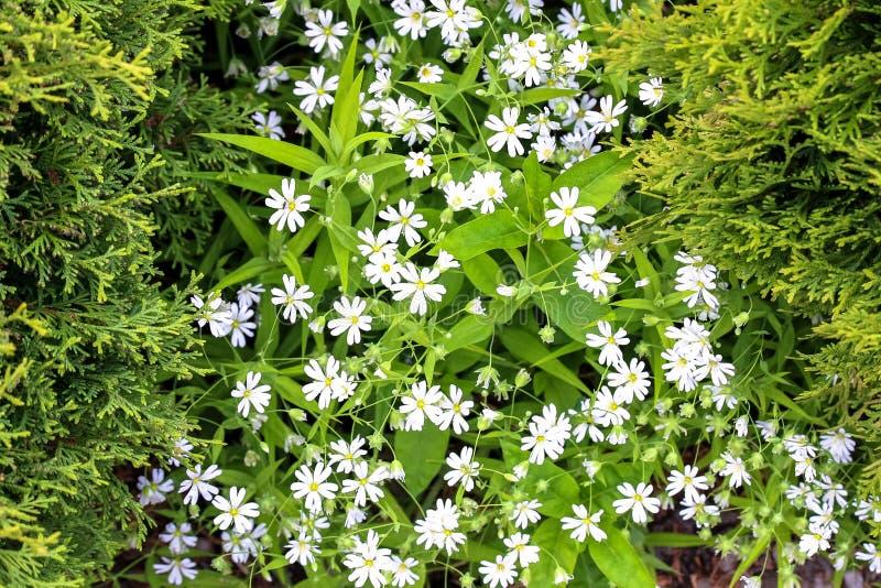 Alfombra blanca de pequeñas flores blancas entre los arbustos coníferos foto de archivo libre de regalías