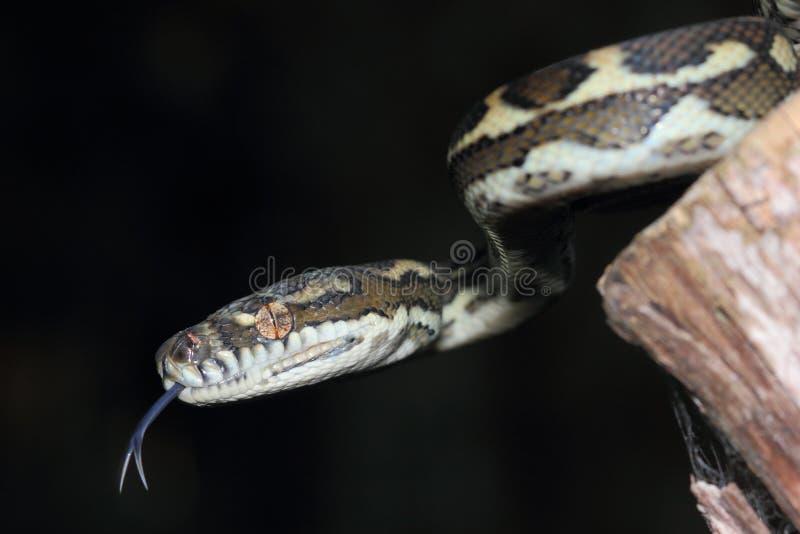 Alfombra costera Python (mcdowelli del australiano del spilota de Morelia) fotografía de archivo libre de regalías