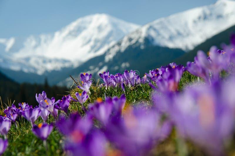 Alfombra de azafranes florecientes en valle del chocholowska en moun del tatra fotos de archivo libres de regalías