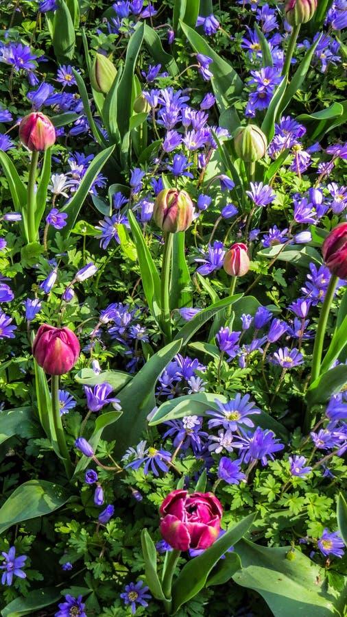 Alfombra de la flor en Países Bajos foto de archivo libre de regalías