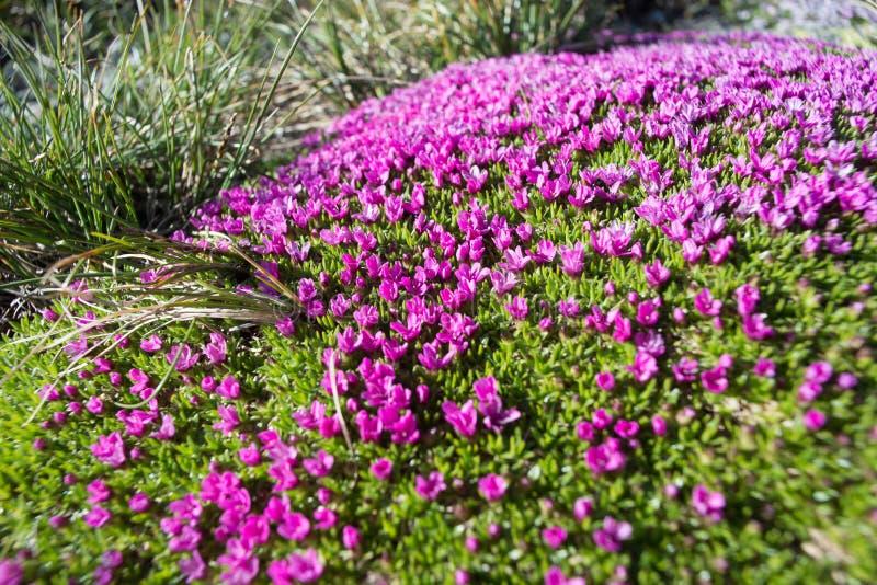Alfombra natural de pequeñas flores púrpuras alpinas fotografía de archivo libre de regalías