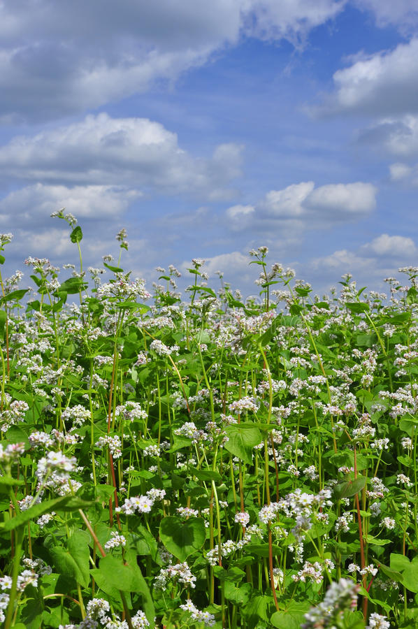 Alforfón floreciente en un fondo de nubes imagen de archivo libre de regalías
