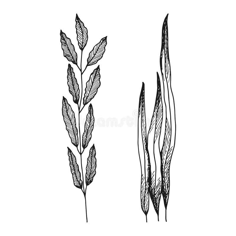 Alga con le foglie silhoue nero isolato schizzo semplice di vettore illustrazione di stock