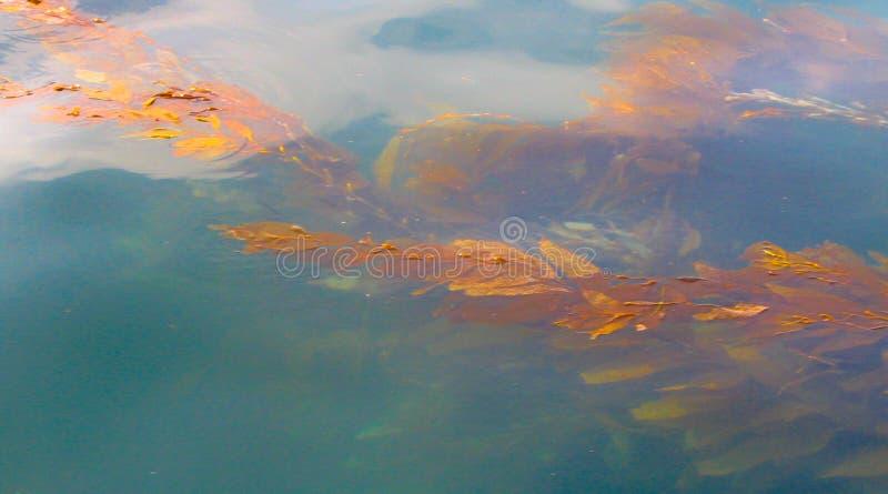 Alga de flutuação do foco macio imagens de stock