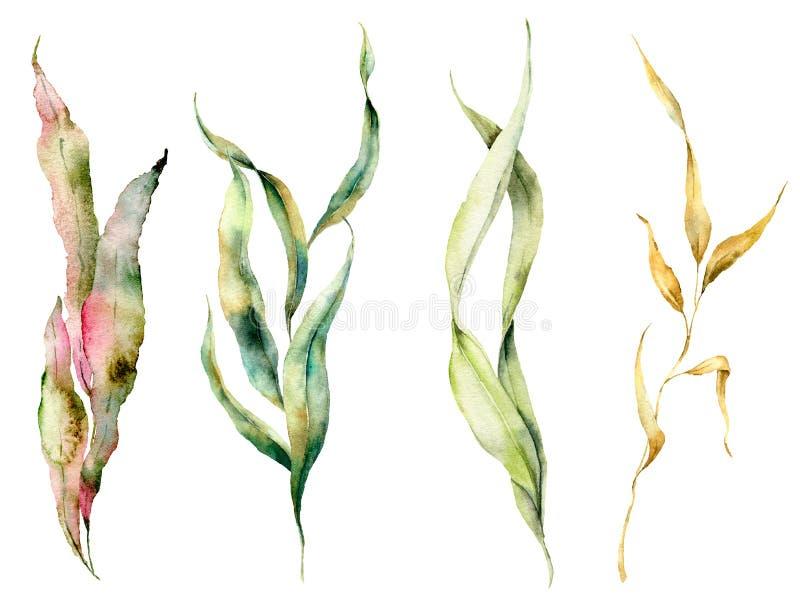 Alga dell'acquerello messa con i rami di laminaria L'illustrazione floreale subacquea dipinta a mano con le alghe lascia isolato illustrazione di stock