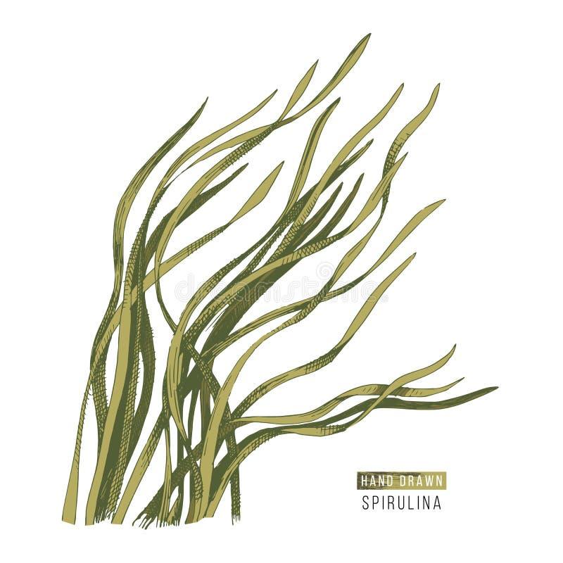 Alga disegnata a mano di spirulina illustrazione vettoriale
