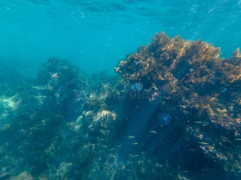 Alga do recife de corais e do atol coberto de vegetação com a vida marinha com medusa e peixes imagem de stock royalty free