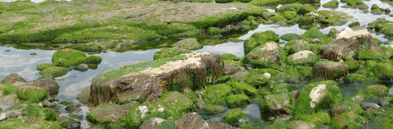 Alga e kelp fotografia stock