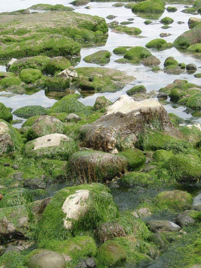 Alga e kelp fotografia stock libera da diritti
