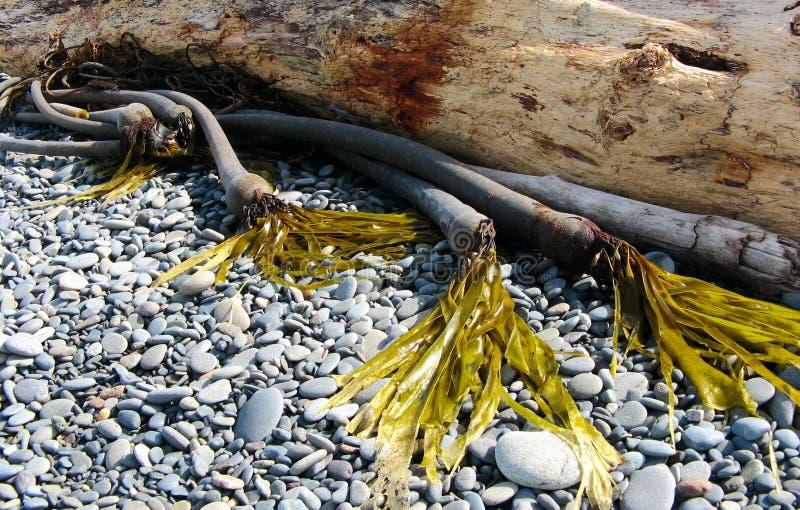 Alga e madeira lançada à costa imagens de stock