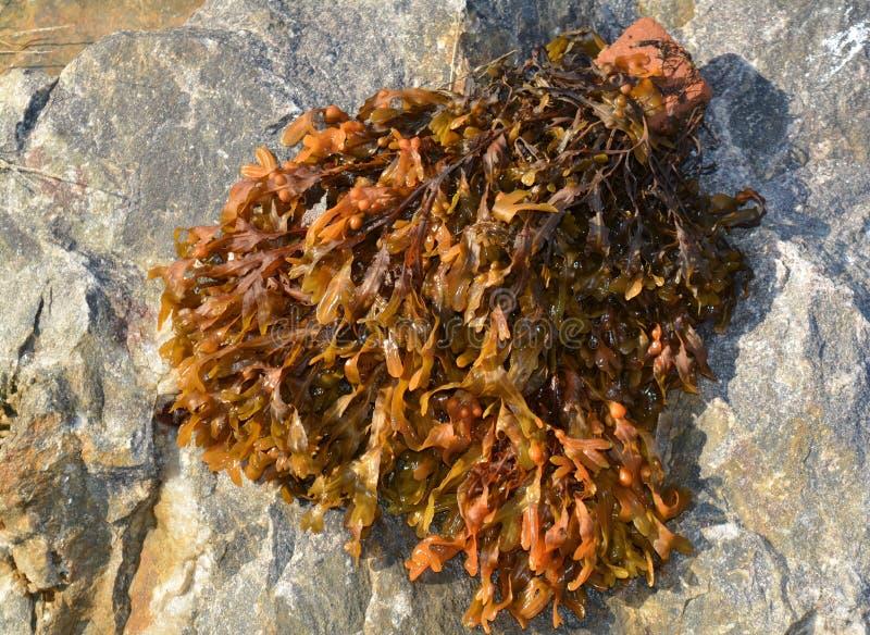 Alga em uma pedra grande fotos de stock
