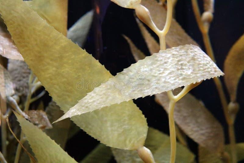 Alga gialla erbaccia nell'oceano, mare della flora dell'acqua salata immagini stock