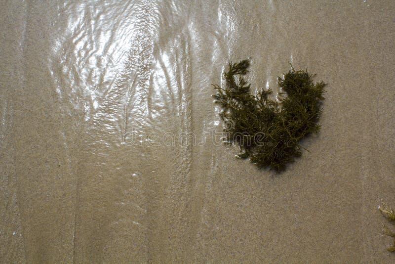 Alga lavata su sulla spiaggia fotografia stock libera da diritti