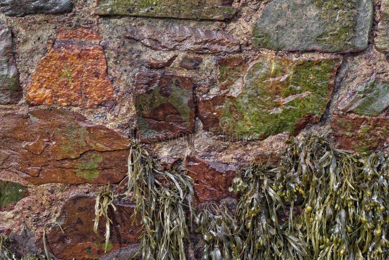 Alga marina del estante de la vejiga, aferrándose para abrigar la pared imagen de archivo libre de regalías