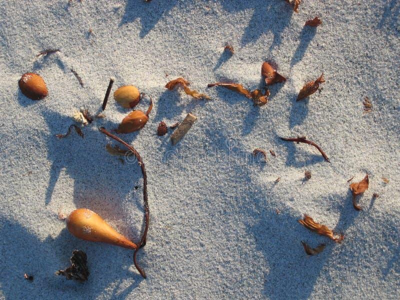 Alga marina en arena foto de archivo