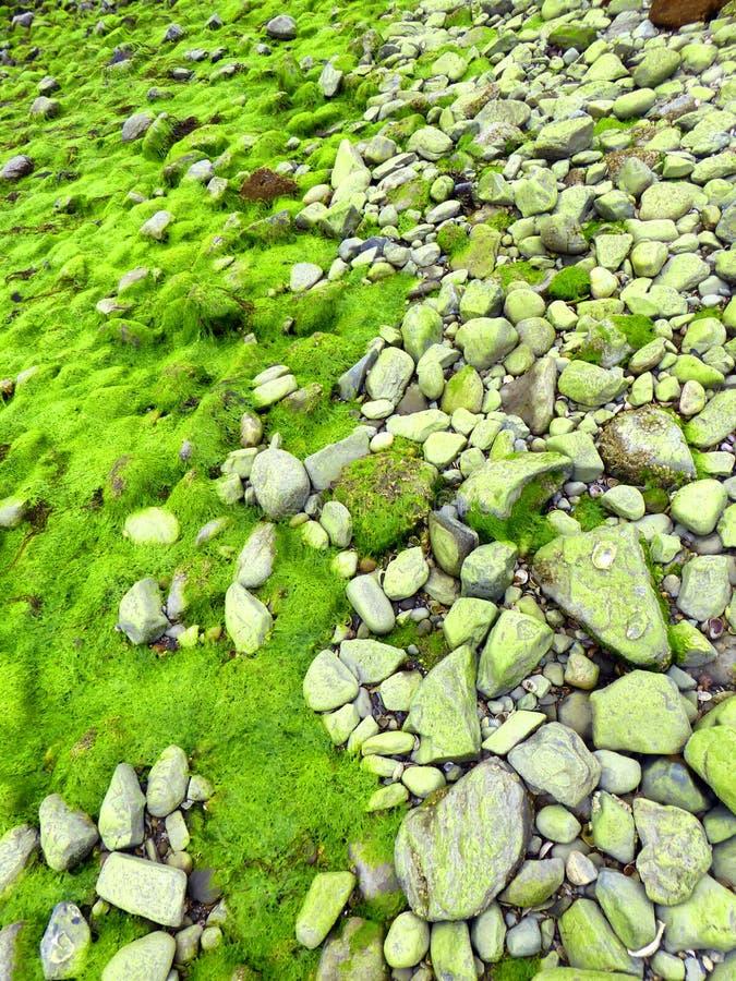 Alga marina fluorescente del lactuca del Ulva de la lechuga de mar verde foto de archivo libre de regalías