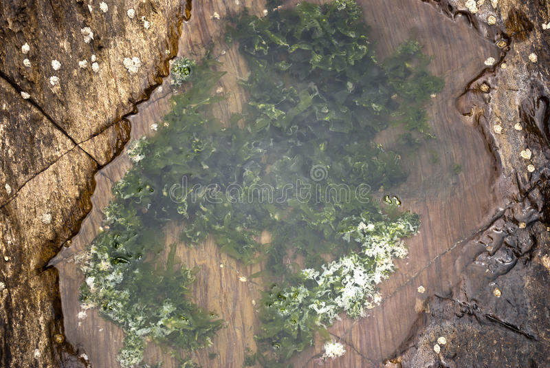 Alga nel mare fotografia stock libera da diritti