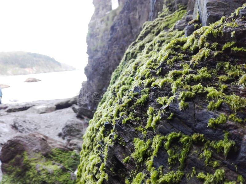 Alga nella roccia alla spiaggia in Inghilterra Spiaggia rocciosa fotografia stock