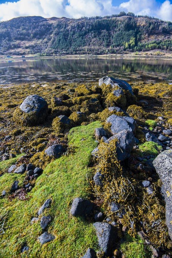A alga notável e extensiva deposita no Loch Sunart nas montanhas de Escócia imagem de stock