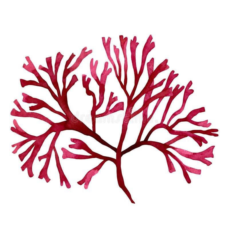 Alga rossa, fuco nell'oceano, elemento dipinto a mano dell'acquerello isolato su fondo bianco Illustrazione rossa d dell'alga del illustrazione vettoriale
