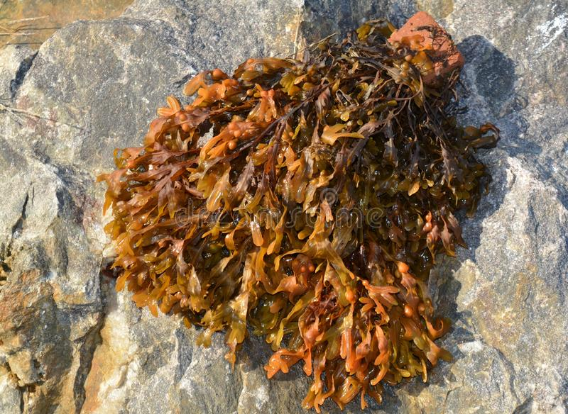 Alga su una grande pietra fotografie stock