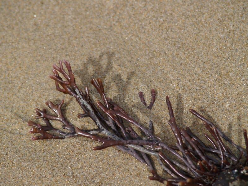 Alga sulla spiaggia immagini stock