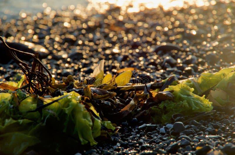 Alga sulla spiaggia backlit dal tramonto, la scintilla dei ciottoli bagnati dietro fotografia stock libera da diritti