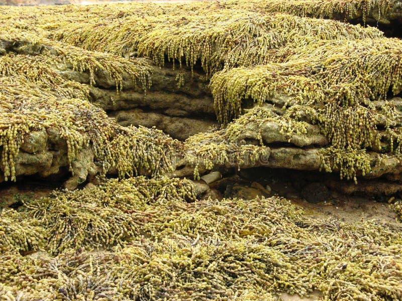 Alga sulle rocce fotografia stock libera da diritti