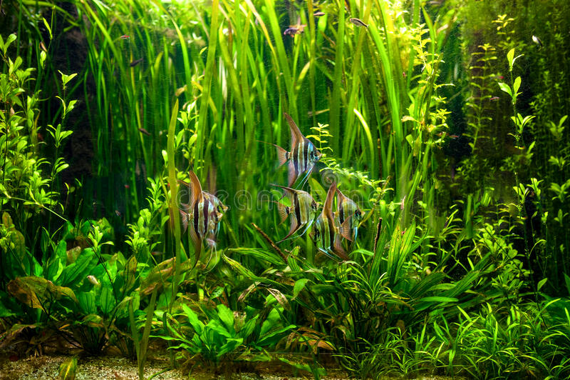Alga verde de Undewater, plantas acuáticas y pescados fotografía de archivo libre de regalías
