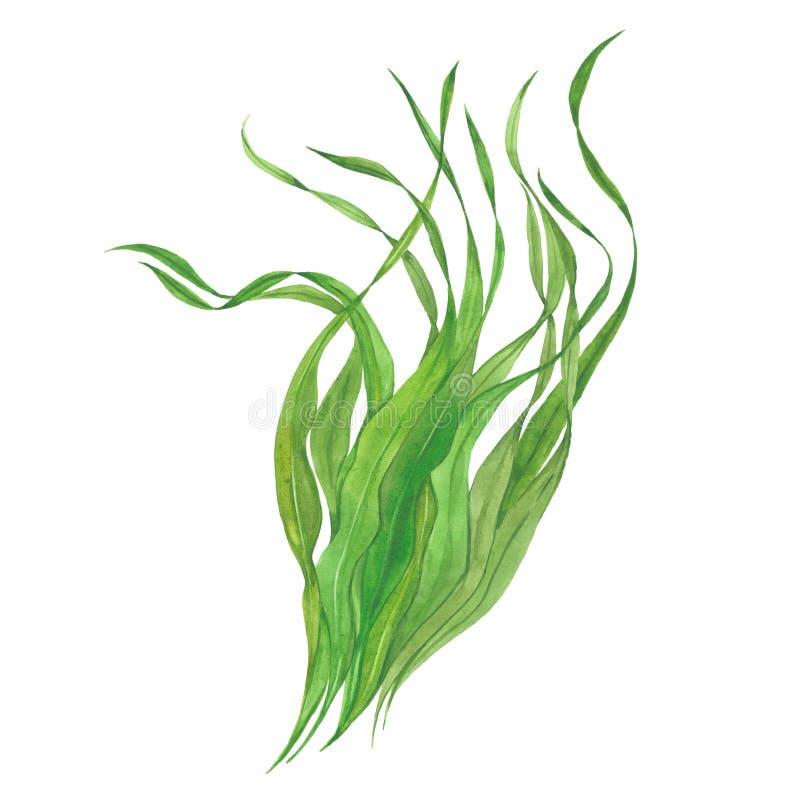 Alga verde dell'acquerello illustrazione vettoriale