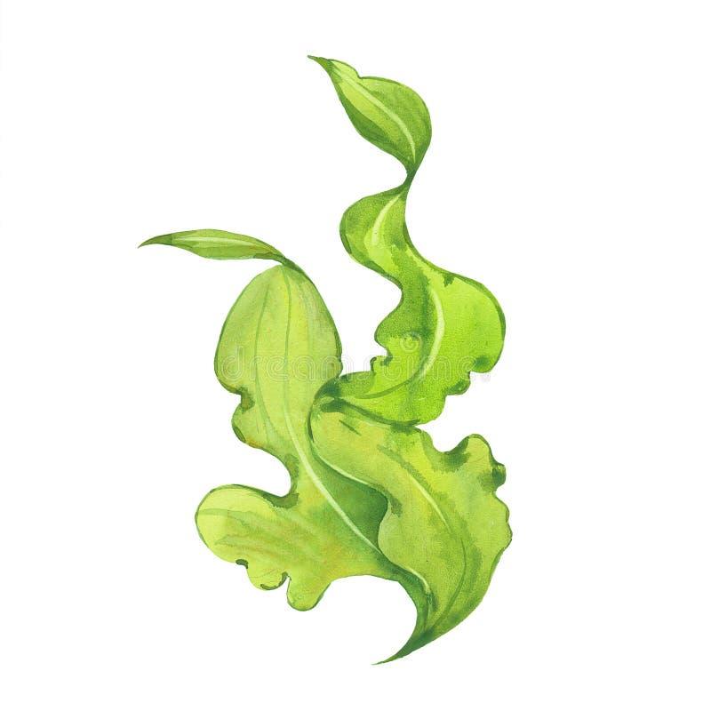 Alga verde dell'acquerello illustrazione di stock