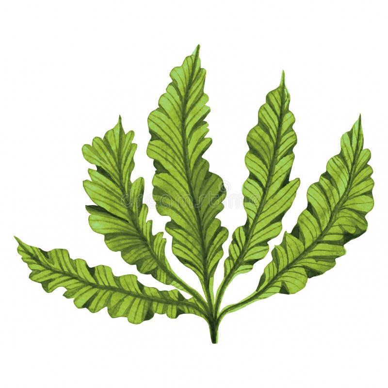 Alga verde, fuco nell'oceano, elemento dipinto a mano dell'acquerello isolato su fondo bianco r spirito illustrazione di stock