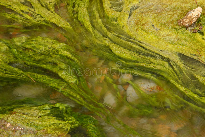 Algae royalty free stock photo