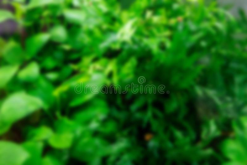 Algae in the aquarium. Blurred green background. Blurred green background of algae in the home aquarium stock photo