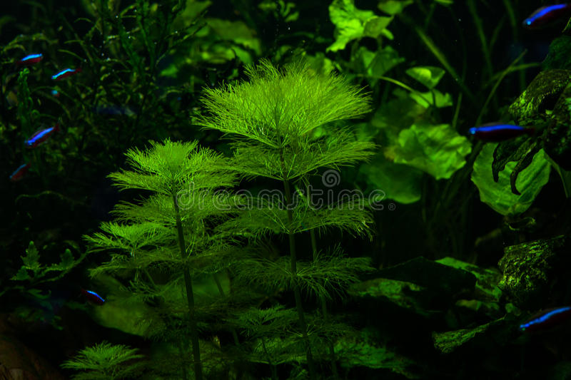 Algae in the aquarium. Marine green algae in the aquarium for fish royalty free stock photo