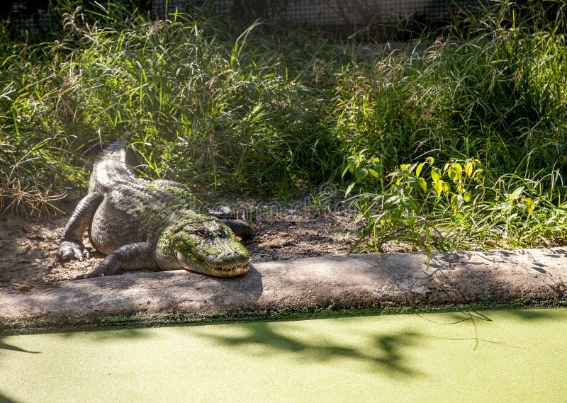 Algae covered American Alligator Alligator mississippiensis. Rests along the shoreline of a big pond royalty free stock images