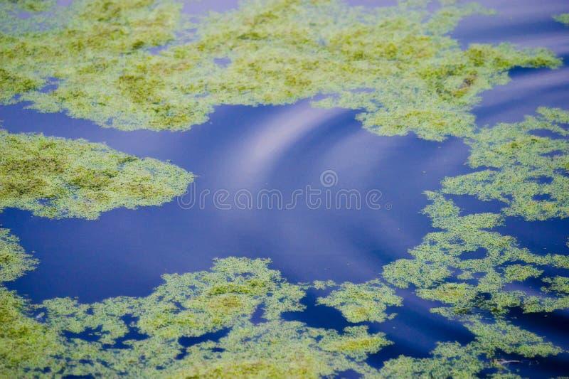 Algae floating on water royalty free stock photos