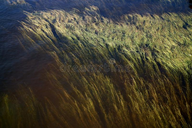 Algae rising from the bottom of the river as a background royalty free stock images