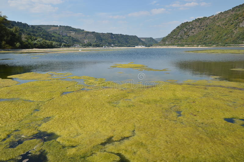 Algae in river rhine. Bacharach, Germany - August 22, 2015: Algae plague in river rhine during heavy drought in summertime because of global warming royalty free stock photography