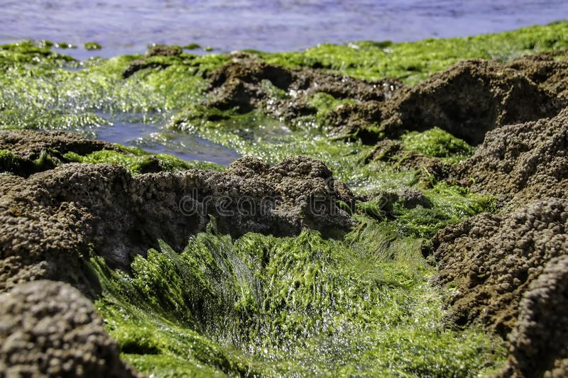 Algae and shells of mollusks of the seabed during low tide. Mediterranean Sea royalty free stock photography