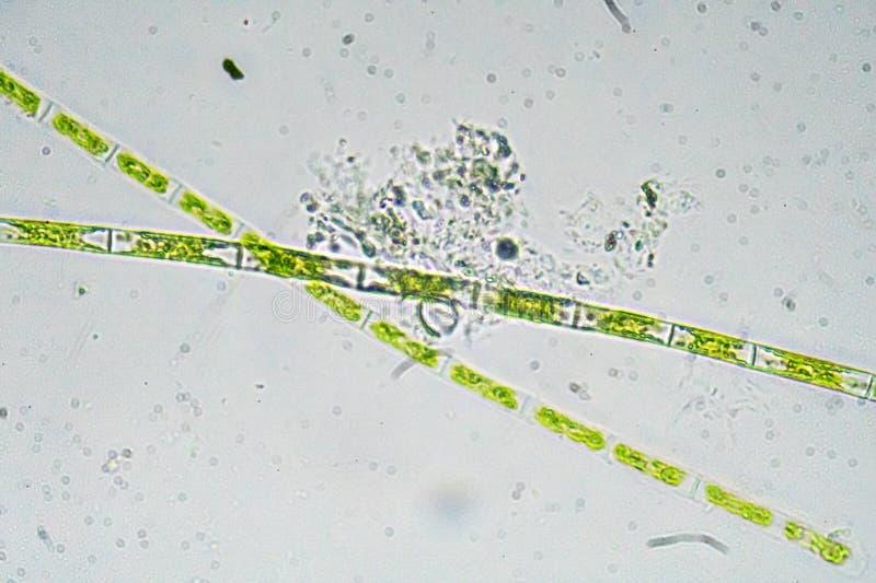 Algas debajo de un microscopio foto de archivo libre de regalías